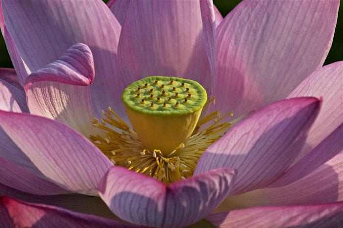 Pink Lotus Heart